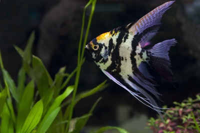 Angle Fish In Green Aquarium by junaspix freedigitalphots.co
