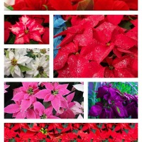 What Your Christmas Poinsettia Wants You To Know
